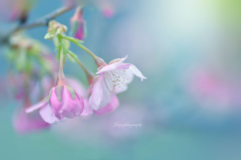 Обои Розовые цветы на размытом фоне. Фотограф Yayoi. Sakurai