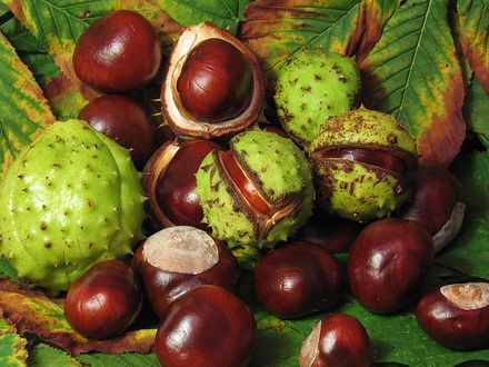 Обои Плоды каштана с листьями