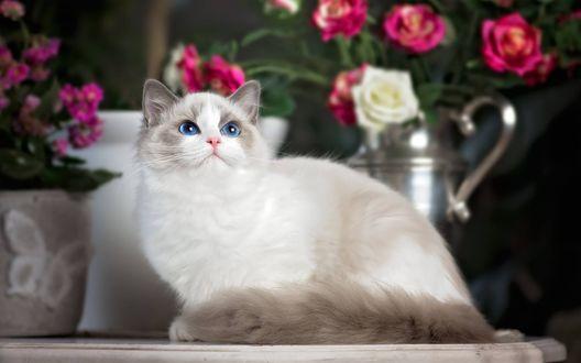 Обои Кошка с голубыми глазами породы рэгдолл лежит на столе возле горшков с цветами
