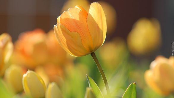 Обои Желтые тюльпаны на размытом фоне