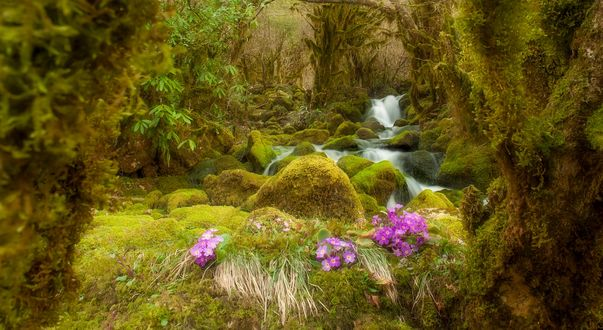 Обои Сиреневые незабудки на поросшей мхом земле перед водопадом, фотограф Romani Tolordava