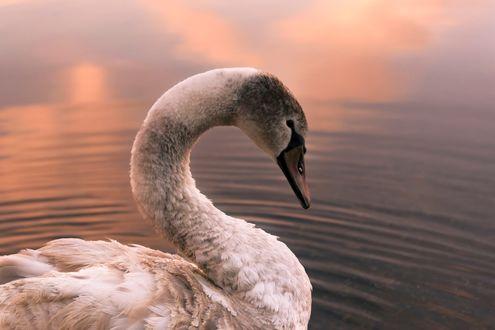 Обои Лебедь на воде, фотограф ioannis ioannidis