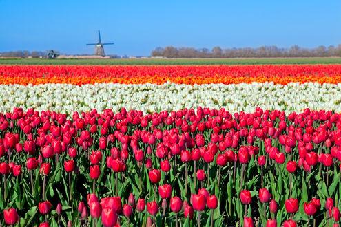 Обои Поле с разноцветными тюльпанами