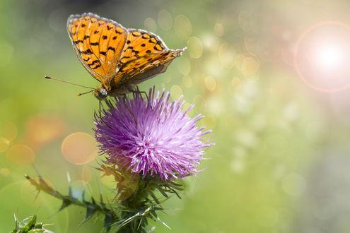 Обои Бабочка сидит на цветке крупным планом. Фотограф Таня Маркова