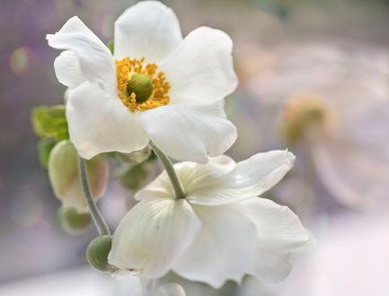 Обои Белые цветы на размытом фоне. Фотограф Таня Маркова