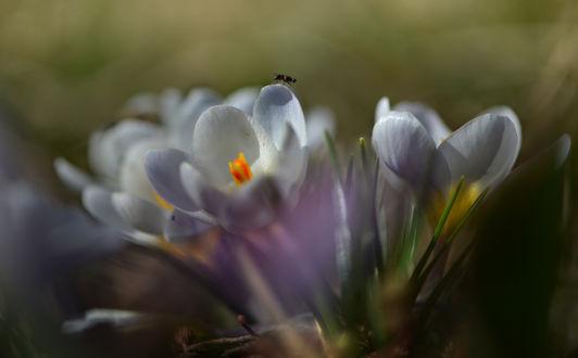 Обои Весенние крокусы, фотограф Неля Рачкова
