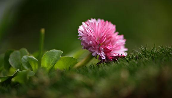 Обои Розовый цветок на зеленой траве. Фотограф Неля Рачкова