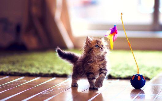 Обои Пушистый котенок на полу играется с игрушкой