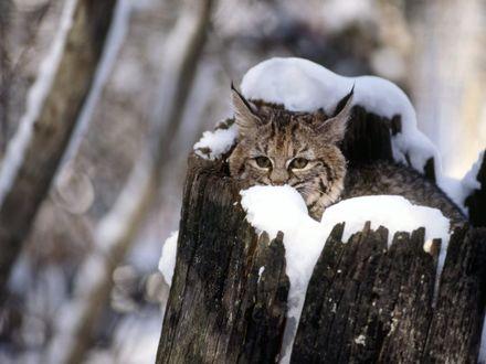 Обои Рысь выглядывает из-за заснеженного обломанного дерева на размытом зимне фоне
