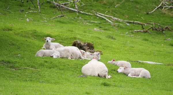 Обои Белые овечки лежат на зеленой траве на лужайке