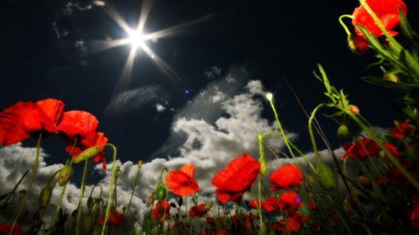 Обои Яркие маки на фоне ночного неба и туч