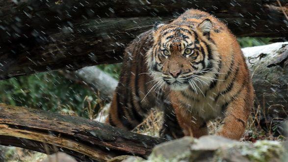 Обои Тигр пробирается среди поваленных деревьев