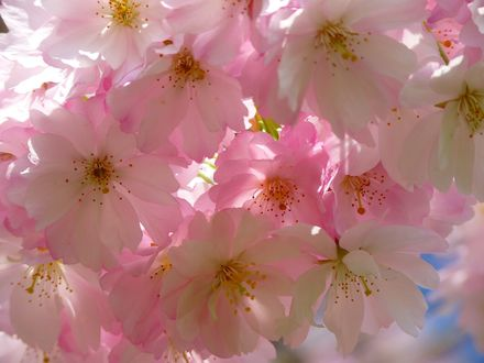 Обои Цветы сакуры крупным планом