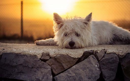 Обои Белый пес породы Вест - хайленд - уайт - терьер на фоне заката, by Heike