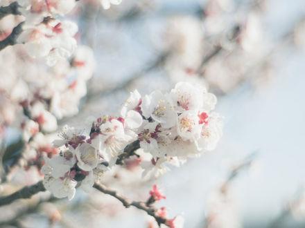 Обои Весенние цветущие ветки вишни