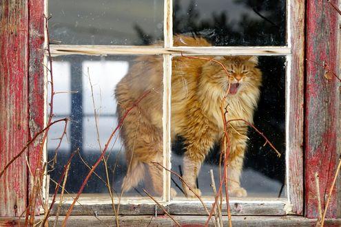 Обои Пушистый рыжий кот зевает и потягивается на подоконнике за стеклом