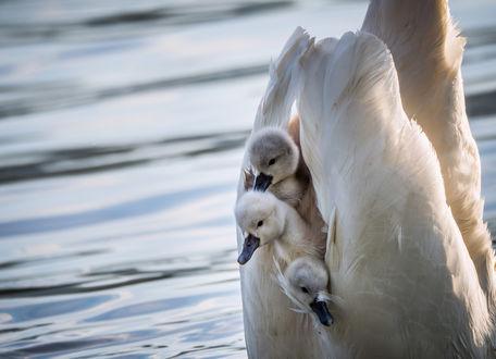 Обои Три птенца сидят на спине у белого лебедя