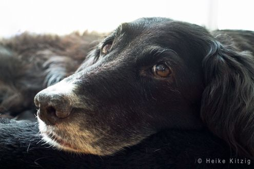 Обои Уставшая собака, фотограф Heike Kitzig