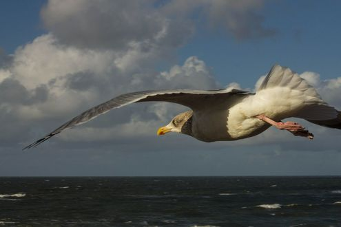 Обои Летящая чайка над морем, фотограф Heike Kitzig