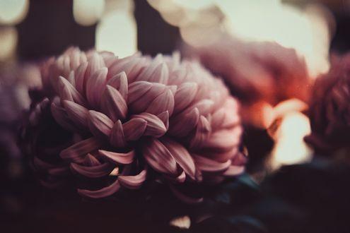 Обои Сиреневая хризантема на размытом фоне