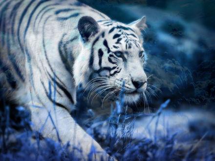 Обои Белый тигр в траве