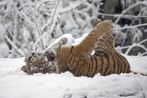 Обои Тигр лежит в снегу на спине подняв лапы вверх