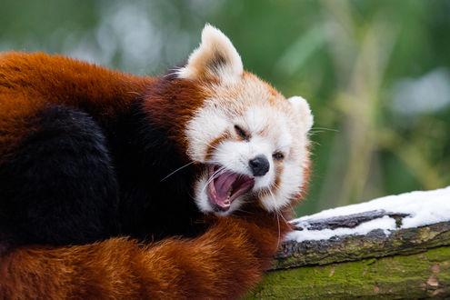 Обои Красная панда улыбается, by Mathias Appel