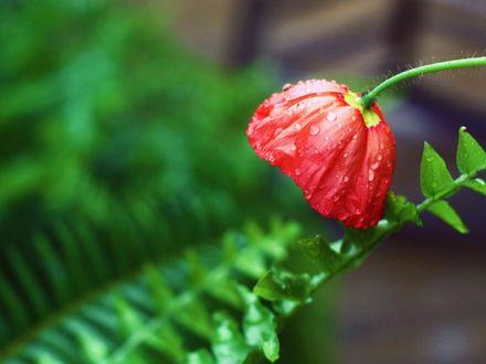 Обои Красный мак в каплях на размытом фоне листьев