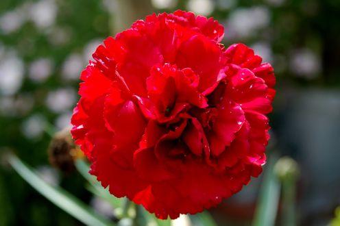 Обои Цветок красной гвоздики в каплях на размытом фоне