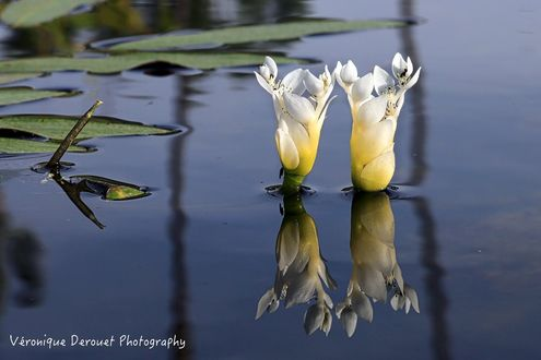 Обои Два красивых белых цветка на воде, by Veronique Derouet