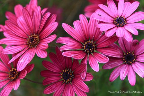 Обои Розовые цветы крупным планом на размытом фоне, by Veronique Derouet