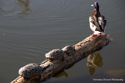 Обои На стволе дерева, лежащем в воде, сидят семейство черепах и птица, by Veronique Derouet