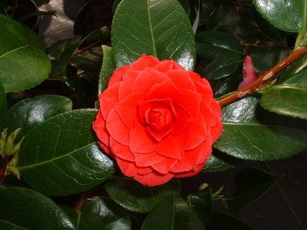 Обои Цветок красной камелии