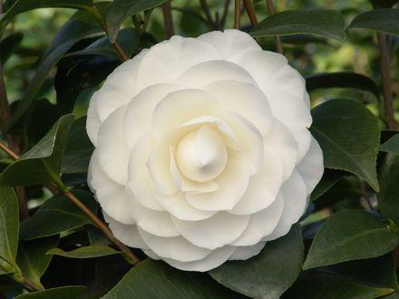 Обои Цветок белой камелии с листьями крупным планом