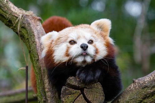 Обои Красная панда лежит на дереве, by Mathias Appel