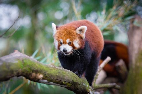 Обои Красная панда идет по стволу дерева, by Mathias Appel