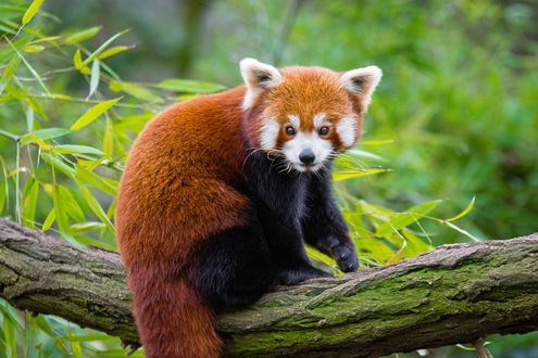 Обои Красная панда сидит на дереве, by Mathias Appel