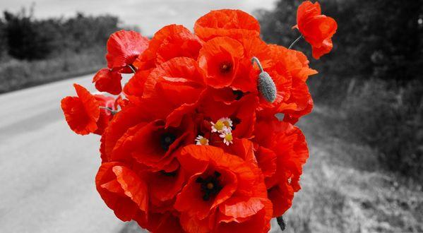Обои Букет ярко-красных маков на фоне черно-белого пейзажа