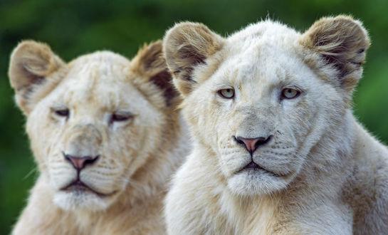 Обои Две белых львицы, by Tambako the Jaguar
