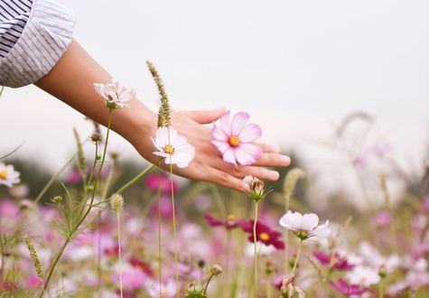 Обои Рука с космеей в ней над полем этих цветов