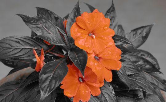 Обои Оранжевые цветы с темно-серыми листьями на сером размытом фоне