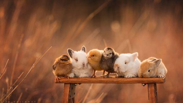 Обои Кролики и цыплята сидят на лавочке, фотограф Lisa Holloway