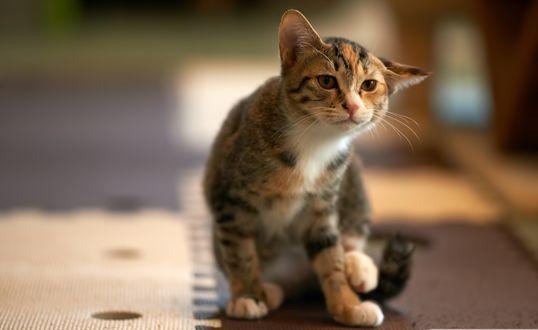 Обои Сидящий кот с опущенным ухом настороженно всматривается вдаль