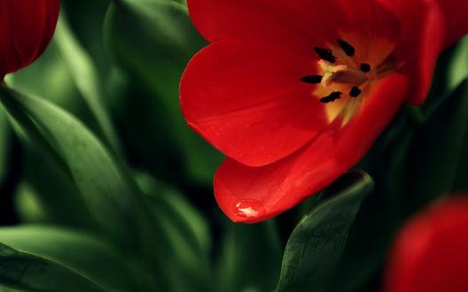 Обои Красный тюльпан с каплей росы