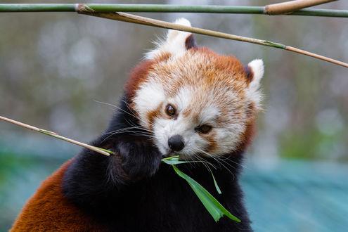 Обои Красная панда с листом во рту, by Mathias Appel