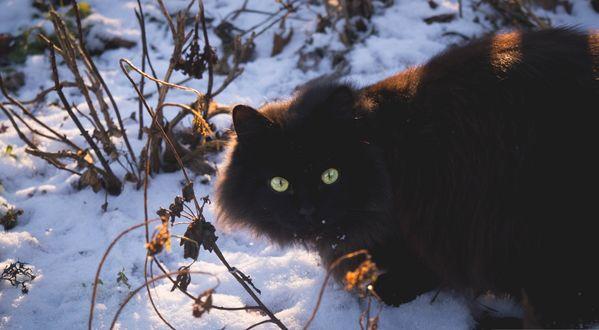 Обои Черный пушистый кот на белом снегу, подсвеченном солнцем