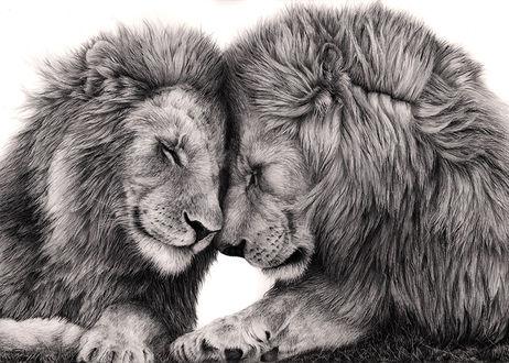 Обои Два льва касаются друг друга носами, выражая свои чувства