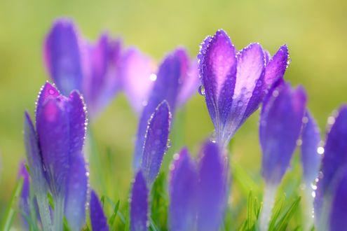 Обои Фиолетовые крокусы в каплях росы, фотограф Kimber Leigh