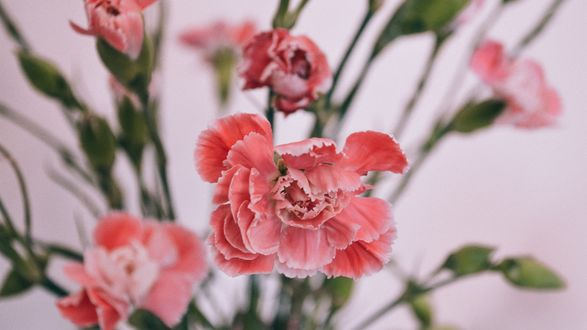 Обои Светло-розовые цветы гвоздики с бутонами на размытом фоне