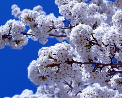 Обои Весенние цветущие ветки дерева